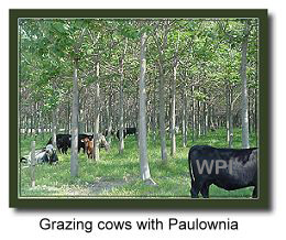 cows_paulownia02